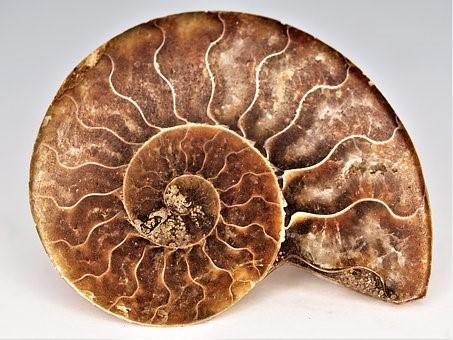 Ammolite, ammonite